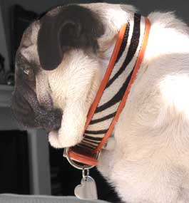 pug in safari collar