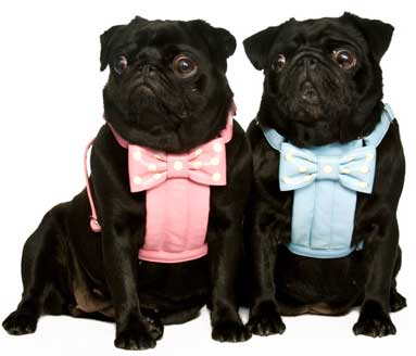 pugs in bow harnesses