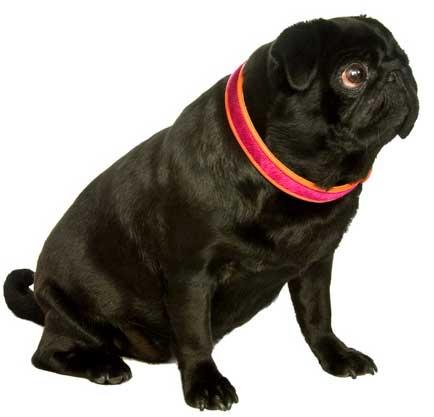 pug black pink cowhide dog collar