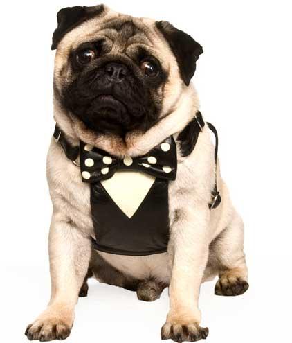 pug tuxedo harness